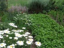 Doras Bauerngarten in Hainert - Basilikum