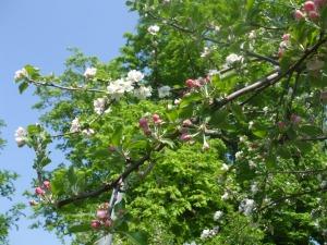 Apfelbaum mit zwei Sorten