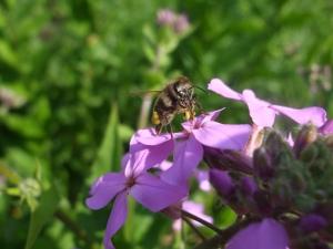 Biene bei der Nachtviole