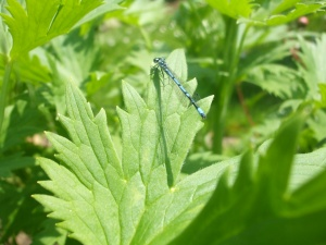 Libelle beim Rittersporn