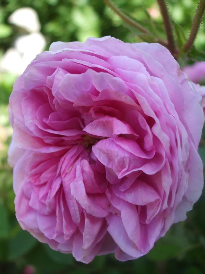 Rose de Peintres