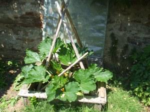 """Die kletternde Zucchini """"Black forest"""" haben wir in den Frühbeetkasten gepflanzt. Dort bekommt sie noch ausreichend Nährstoffe für einen guten Ertrag!"""