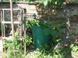 Ein altes undichtes Regenfass dient noch als Pflanzkübel für die Bauerngurken.