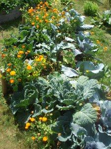 Rotkohl, Wirsing, Brokkoli, Tomaten, Muskatkürbis