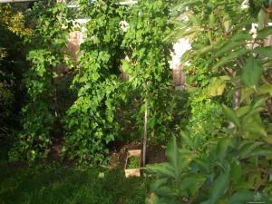 Feuerbohnen Ernte