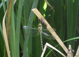aus der Puppe schlüpft die Libelle und entfaltet ihre Flügel