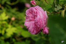 Rosa centifolia major