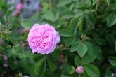Rosa gallica 'Aimable Amie'