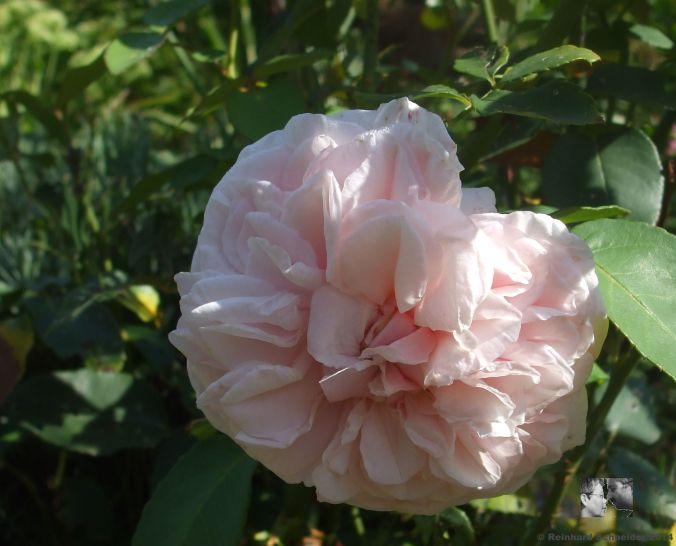 Souvenir de la Malmaison Bourbon-Rose