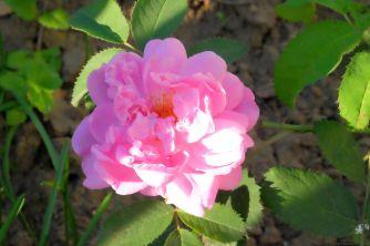 Rosa damascena 'Miranda'