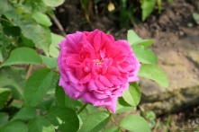 Rosa portlandica 'Indigo'