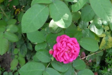 Rosa damascena 'Rose de resht'