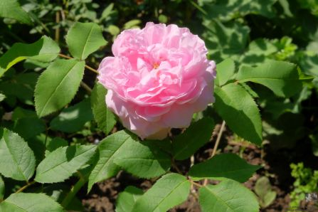 Rosa damascena 'Jacques Cartier'