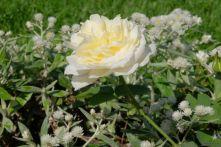 Rosa borbonica 'Kronprinzessin Viktoria'
