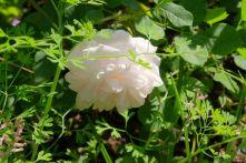 Rosa indica noisetteana 'Marie Dermar'