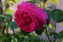 Rosa borbonica 'Mme Isaac Péreire'