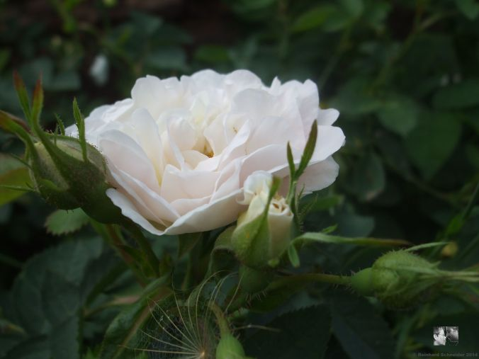 Rosa alba 'Suaveolens'