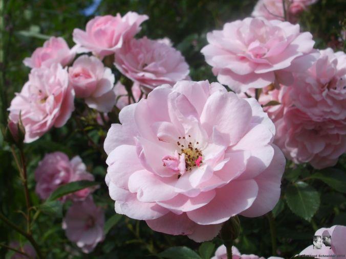 Bonica 82 Floribunda-Rose