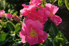 Rosa gallica 'Splendens'
