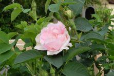 Rosa alba 'Königin von Dänemark'