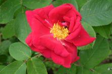 Rosa gallica 'James Mason'