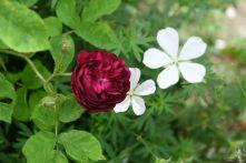 Rosa centifolia 'Ombrèe Parfaite'