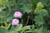 Rosa damascena 'De Meaux'