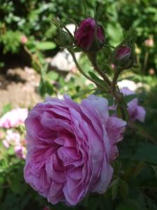 Rosa centifolia 'Major' - die hundertblättrige Rose