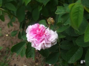 Aimable Amie - Rosa gallica