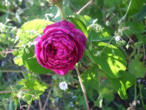 Rosa x centifolia - Unbekannt