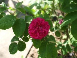 Rose de Resht - Portlandrose
