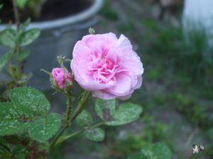 Rosa x centifolia 'De Meaux'