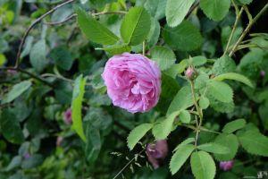 Rosa centifolia 'Major'