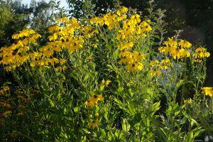 Rudbeckia nitida 'Juligold'