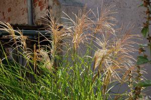 Grosse Gräser die gräser im oktober garten träume und räume