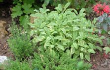 Salvia officinalis 'Icterina'