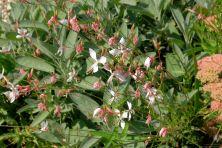 Gaura lindheimeri und Salvia officinalis 'Berggarten'