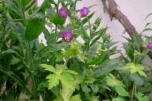Geranium phaeum 'Goldmund'