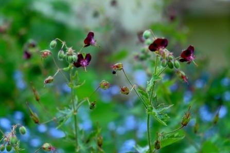 Geranium phaeum 'Angelina'