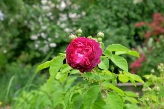 Rosa damascena 'La Negresse'