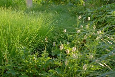 Sesleria autumnalis mit Sanguisorba albiflora