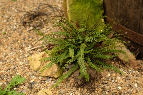 Asplenium trichomanes – Braunstieliger Streifen-Farn