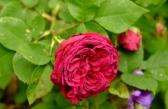 Prince Charles, Rosa borbonica