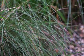 Bouteloua gracilis Moskitogras
