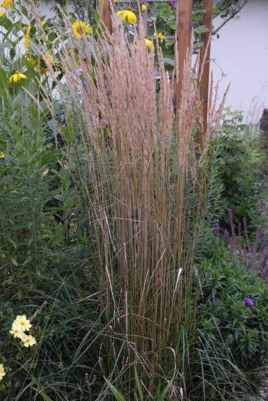 "Calamagrostis x acutiflora ""Karl Foerster"""