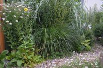 "Pennisetum alopecuroides ""Hameln"""
