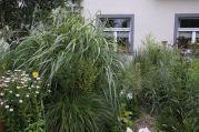 "Miscanthus sinensis ""Silberfeder""; Pennisetum alopecuroides ""Cassian"""