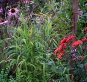 Chasmathium latifolium Plattährengras