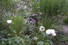 Poa cita Neuseeland Tussock-Gras