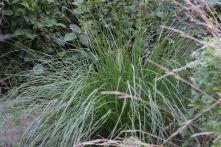 """Pennisetum alopecuroides """"Cassian"""""""